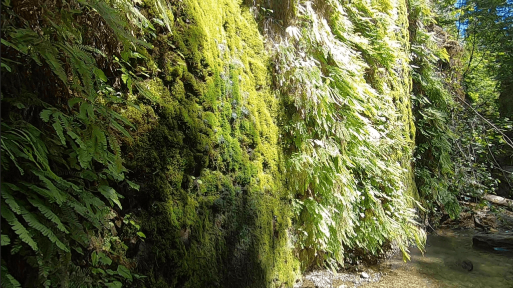 water falls and moss on fern canyon hike california redwoods
