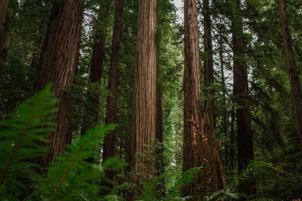 crescent city ca redwoods