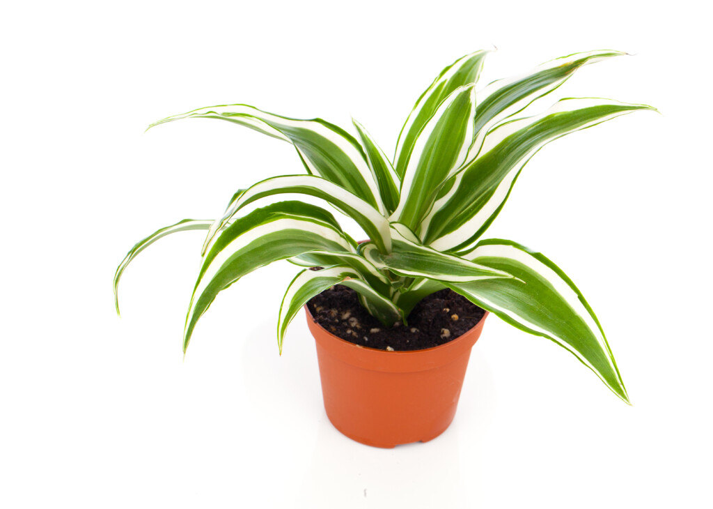 cornstalk dracaena to purify homes air