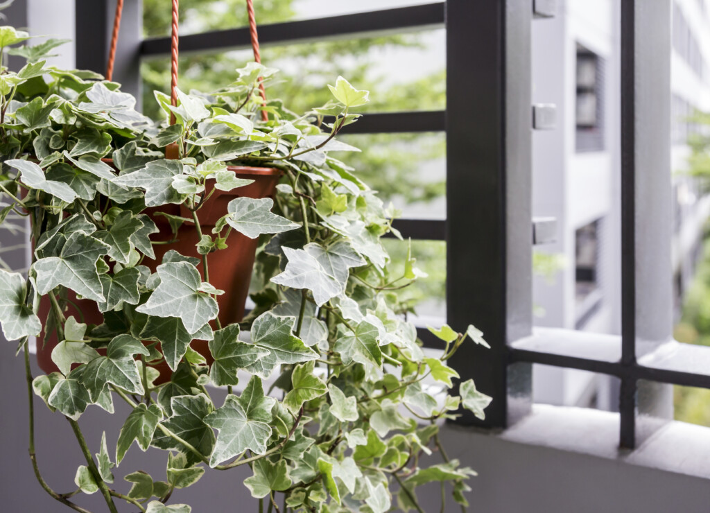 english ivy plant to clean air