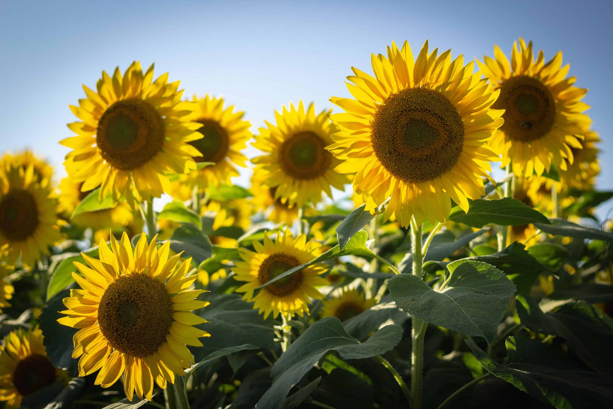 Best Sunflower Fields in California for Pictures - Ask for Adventure