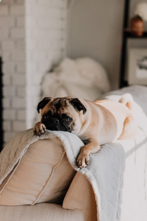 cute dog relaxing on couch