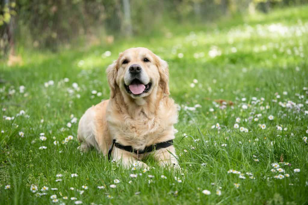 happy dog laying in grass