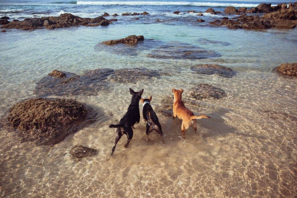 three dogs playing in ocean