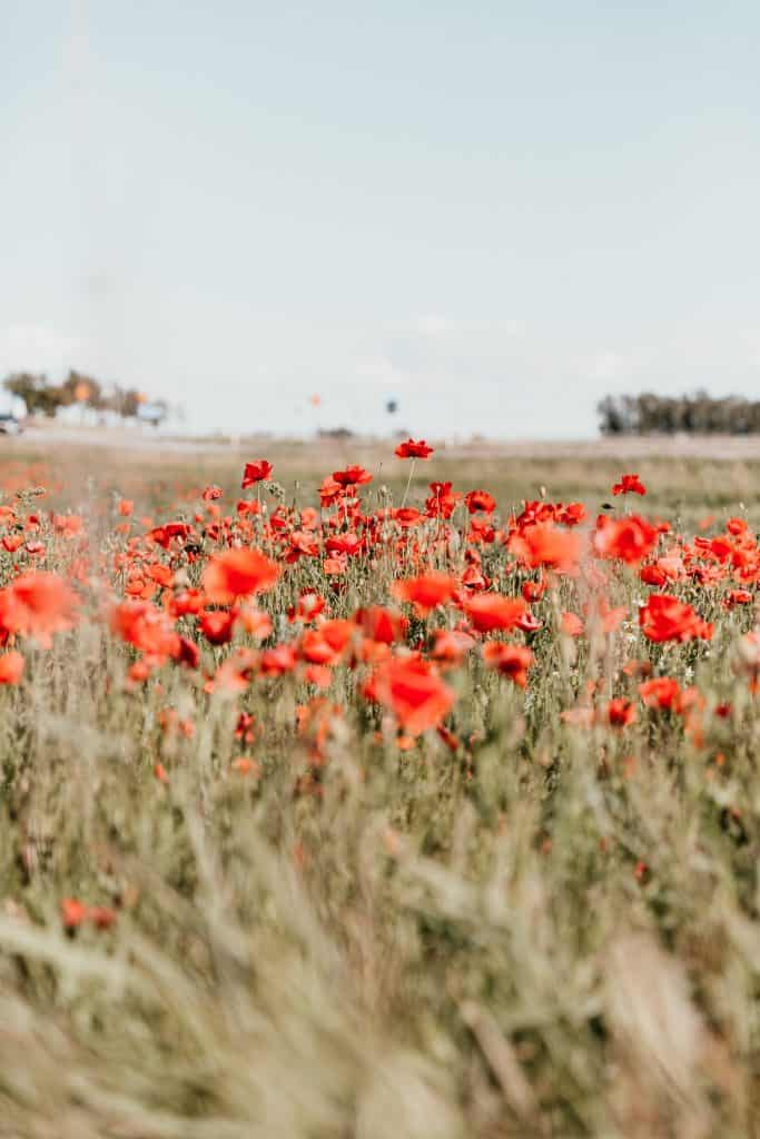 red wildflowers in a field