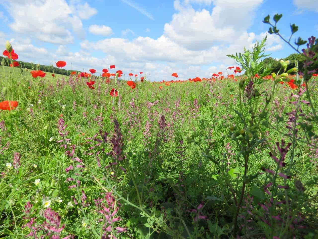 red poppies and wildflowers in a field