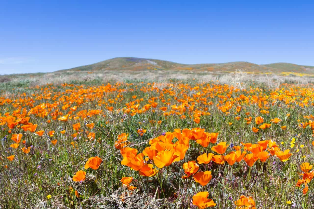 Field of poppies at the Antelope Valley California Poppy Reserve.