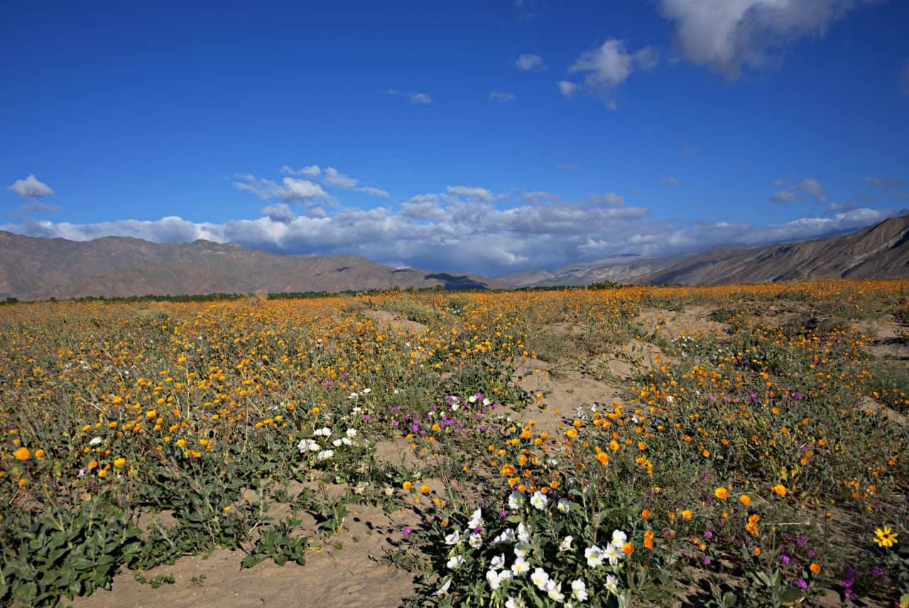 Poppies in a field at the Anza-Borrego State Park.