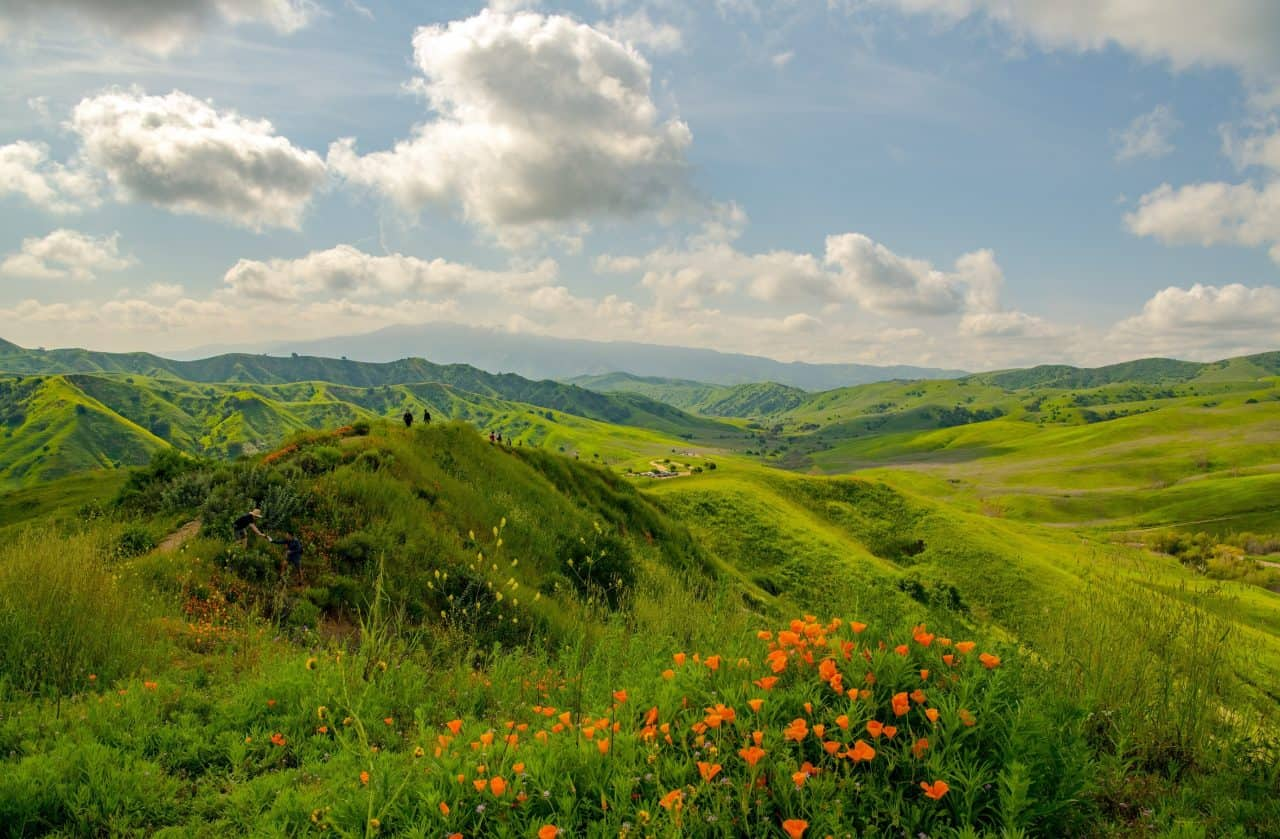 A patch of California poppies in bloom at the Chino Hills State Park.