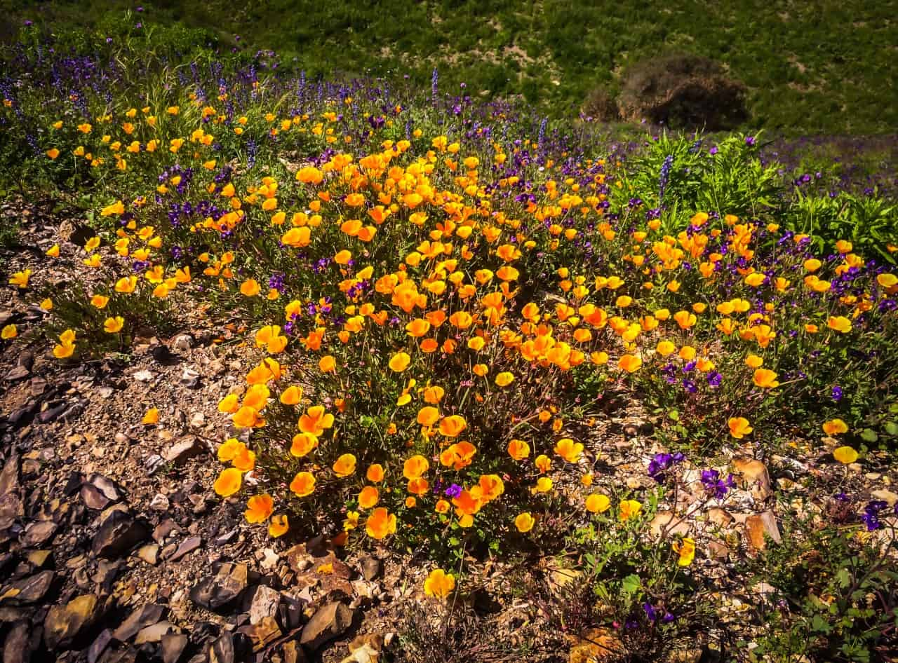 Poppies and wild flowers growing at the Point Dume Nature Preserve.
