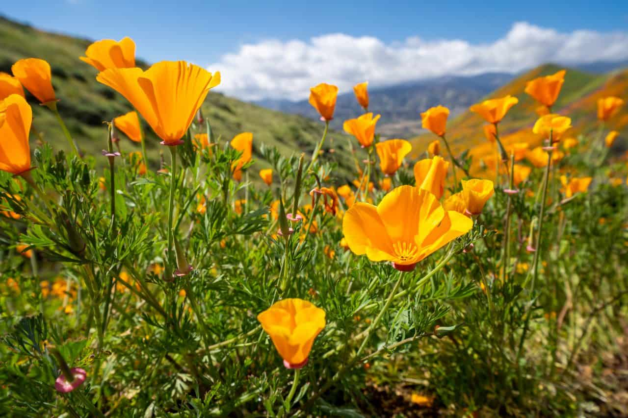 Close up of California Poppies at the Walker Canyon Trail in Lake Elsinore.