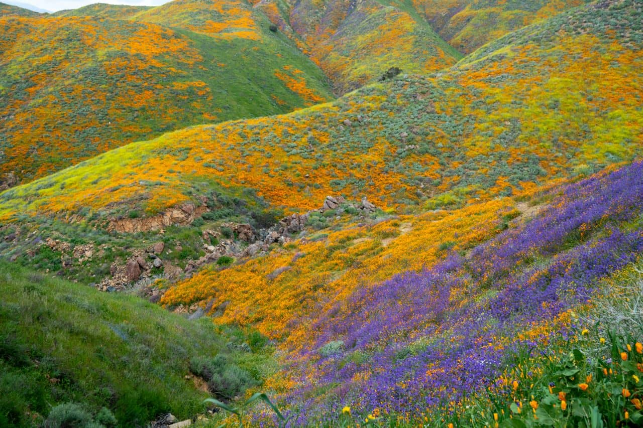 California poppies covering the mountain in Lake Elsinore.