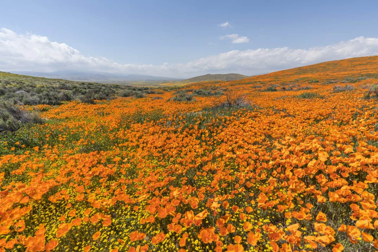 Poppies covering the hillside during a poppy super bloom.
