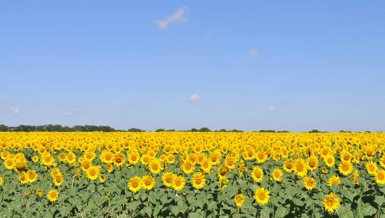 A large field of sunflowers.