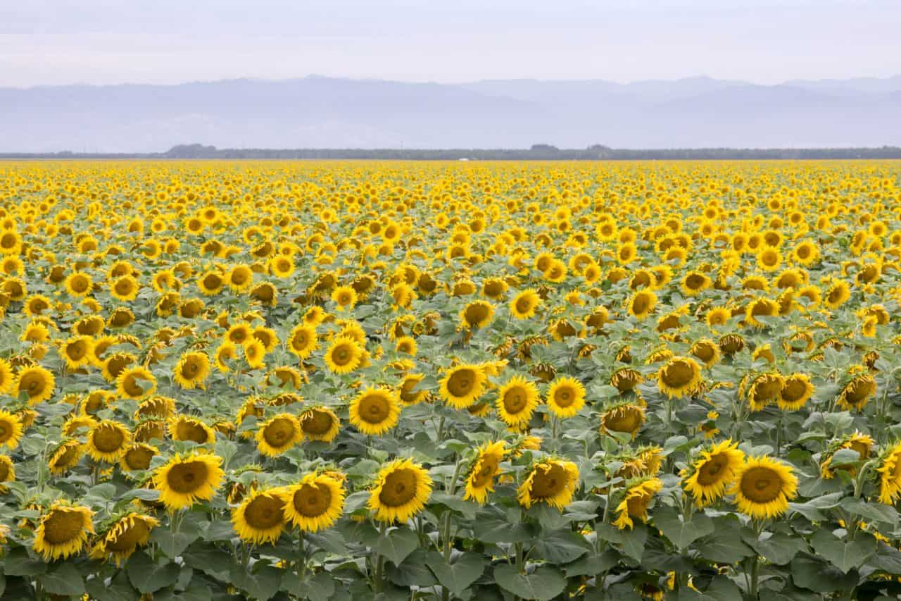 Looking down on a field of sunflowers in Dixon California.