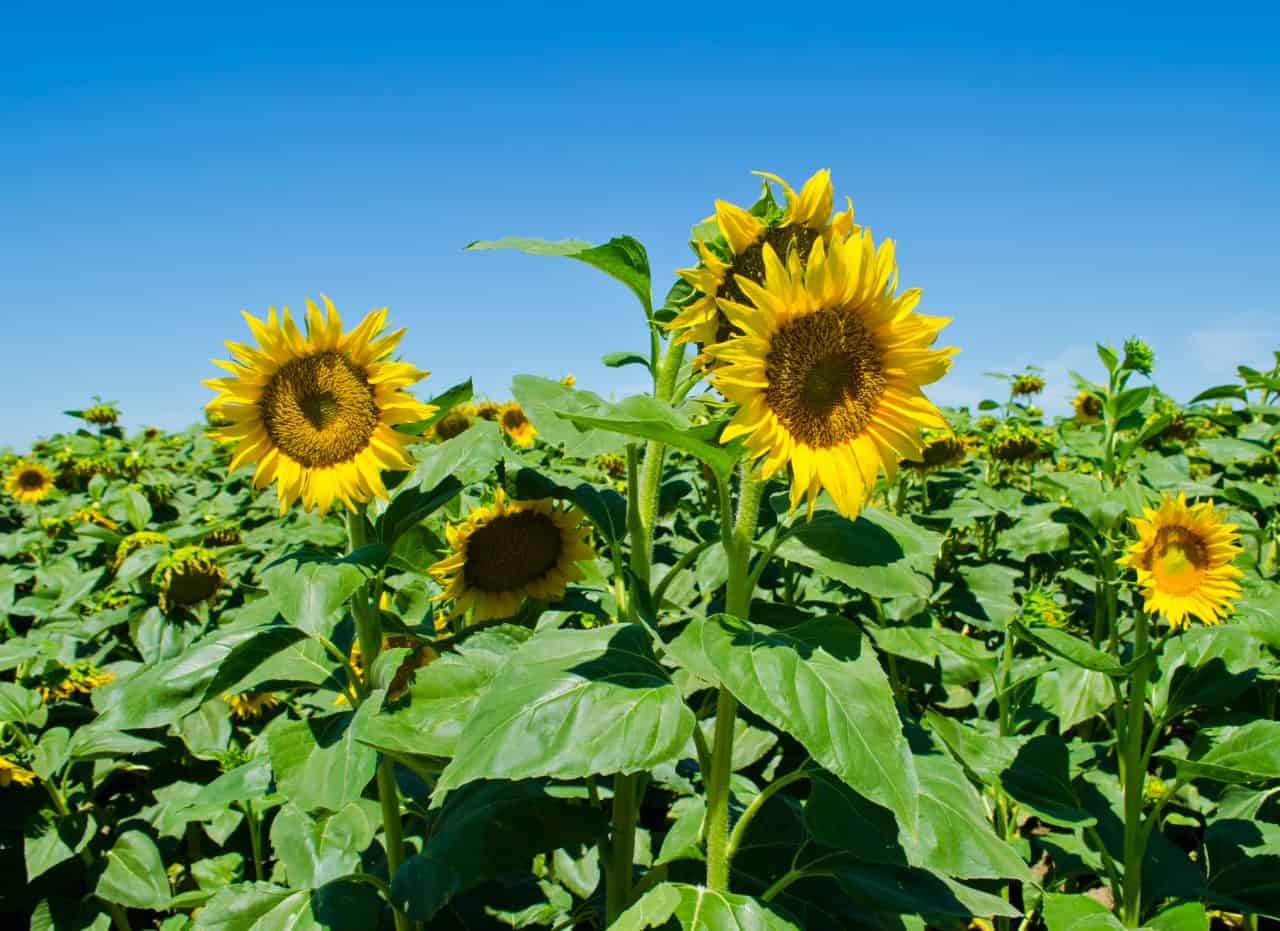 Sunflowers blooming in a field.