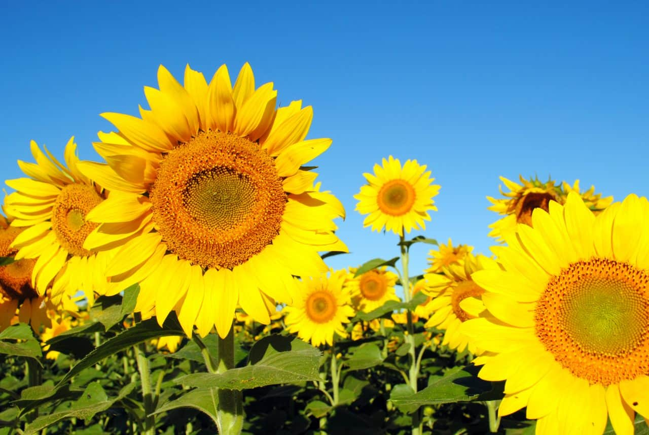Close up of bright yellow sunflowers in a field.