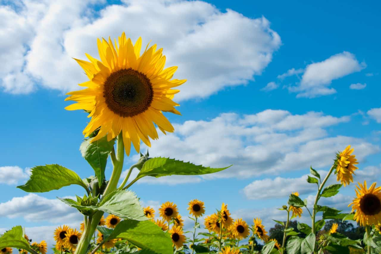 Sunflowers in bloom in a field with blue sky in the background.
