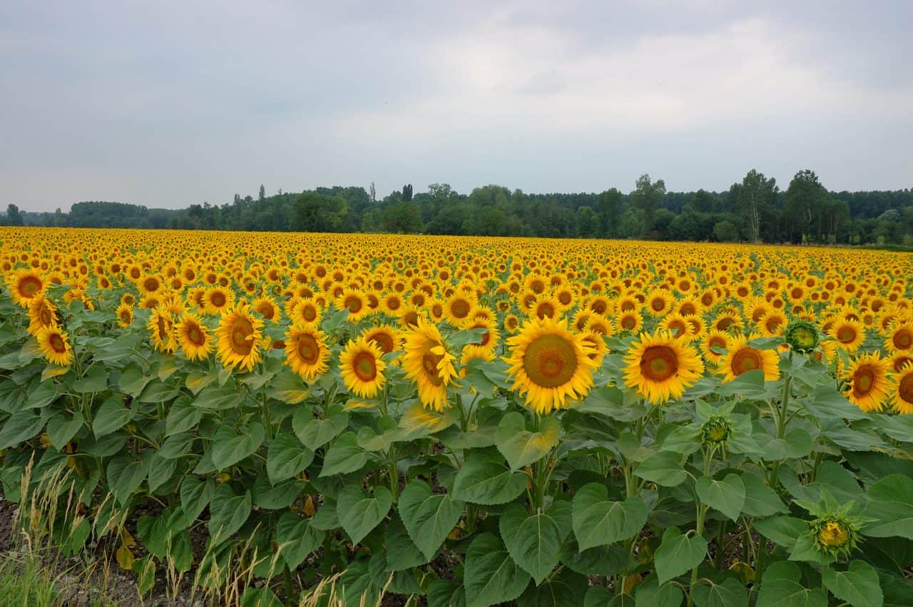 A large field of yellow sunflowers.