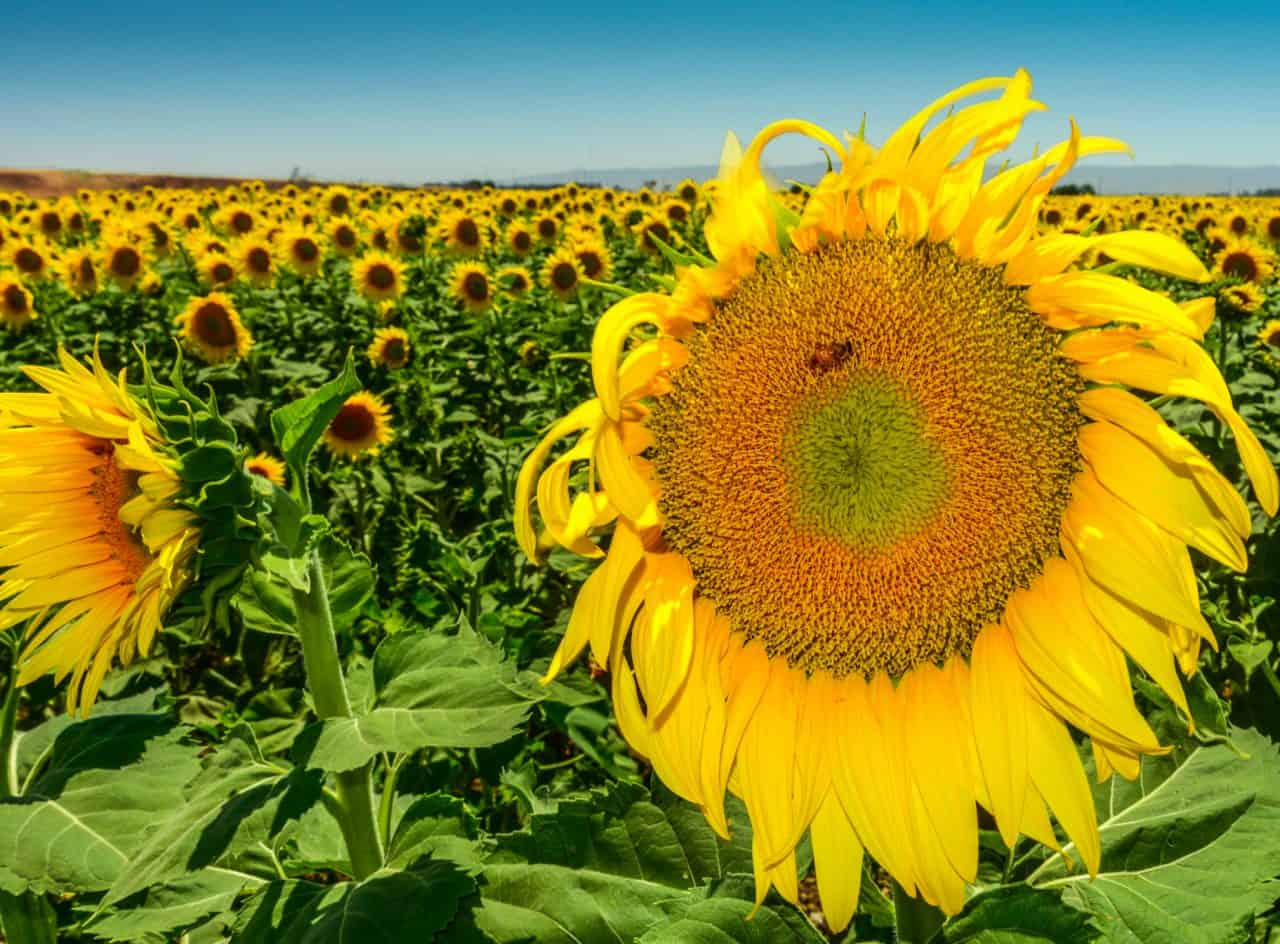 A large sunflower in a field with a bee on it.