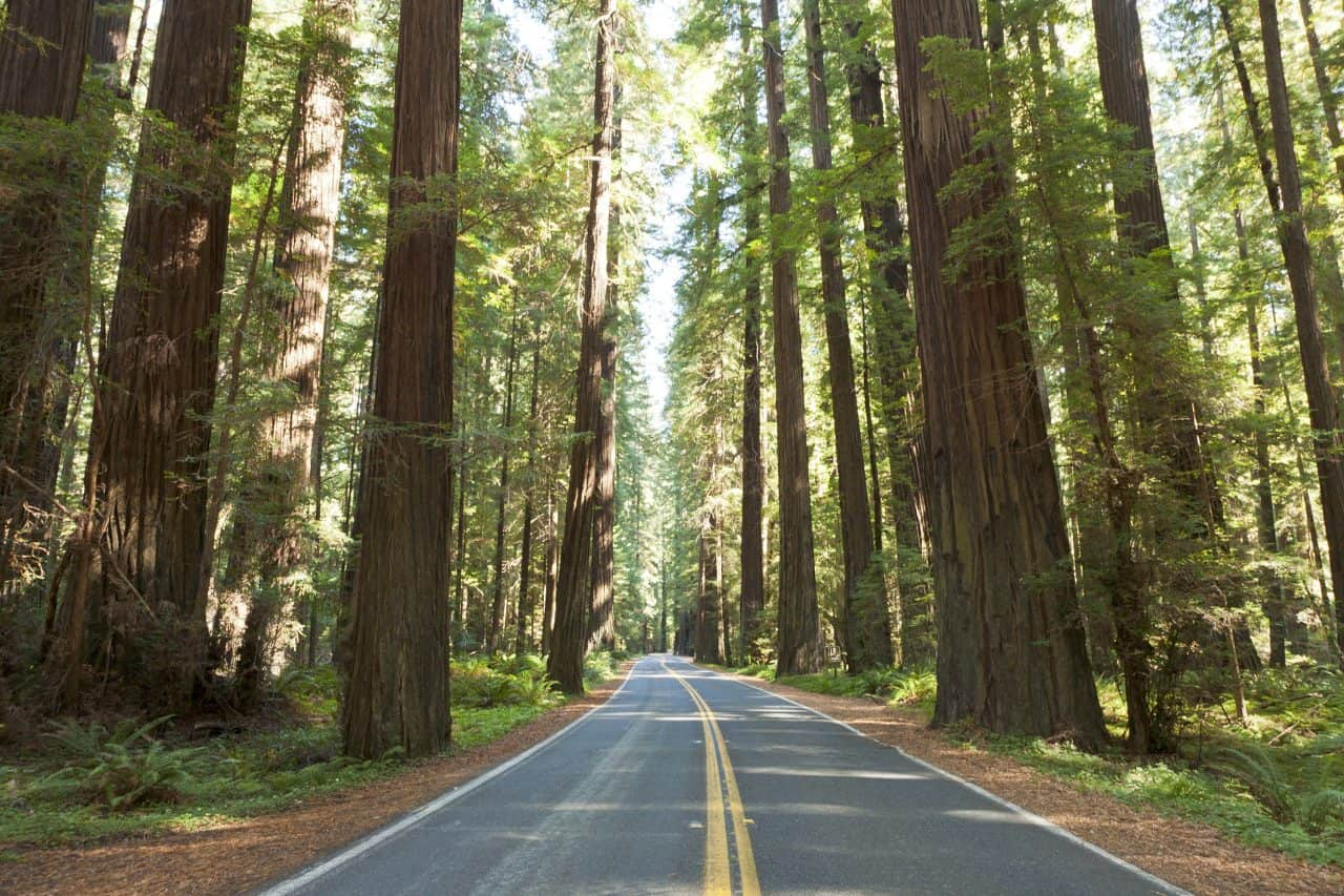 Road leading through tall redwoods in California.