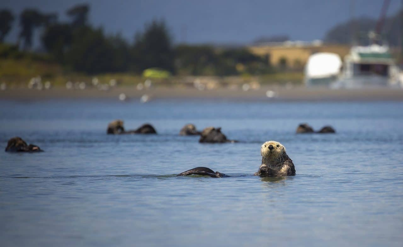Sea otters swimming in the Monterey Bay Harbor.