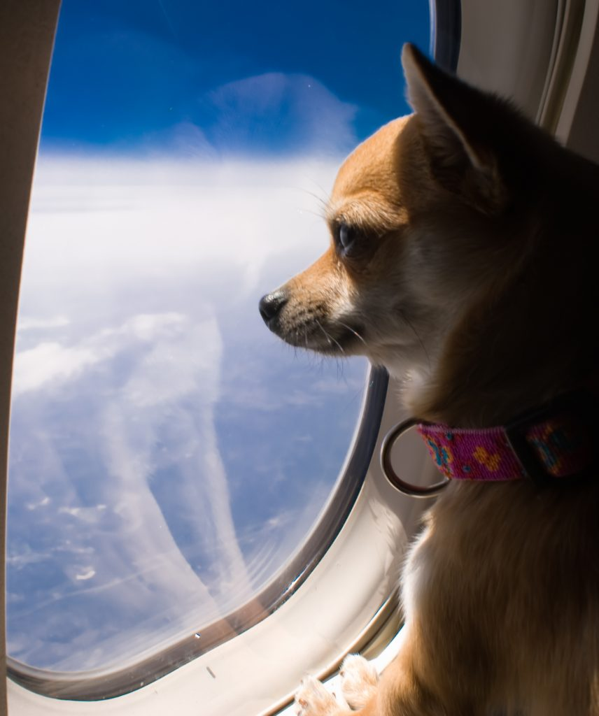 dog looking out plane window