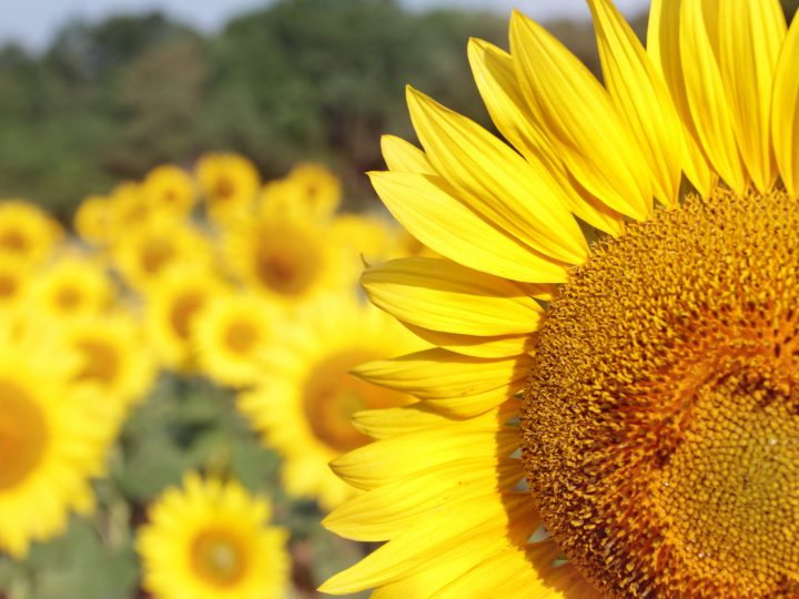 75 Sunflower Quotes and Captions to Make Your Life a Little Brighter!