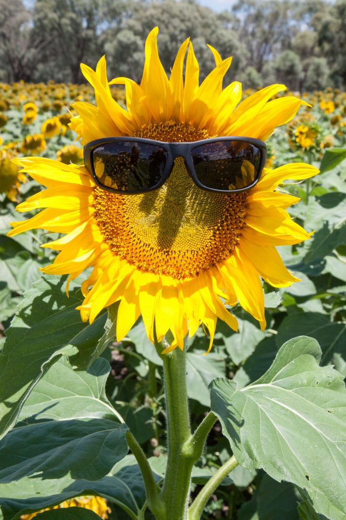 sunflower with sunglasses on